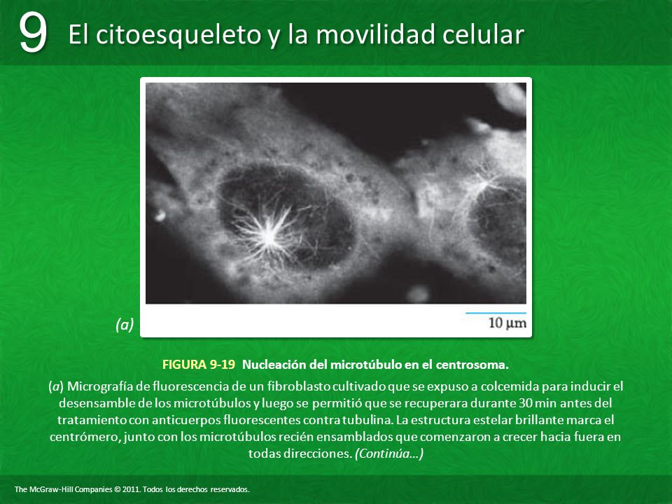 The McGraw-Hill Companies © 2011. Todos los derechos reservados. El citoesqueleto y la movilidad celular 9 9 FIGURA 9-19 Nucleación del microtúbulo en