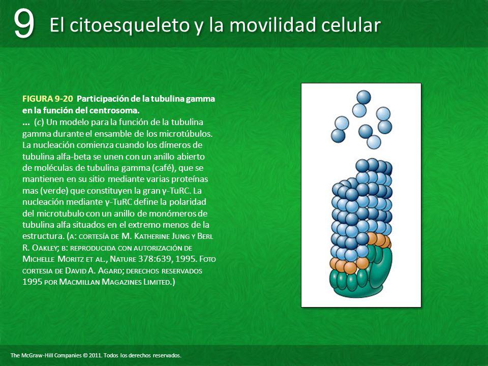 The McGraw-Hill Companies © 2011. Todos los derechos reservados. El citoesqueleto y la movilidad celular 9 9 FIGURA 9-20 Participación de la tubulina