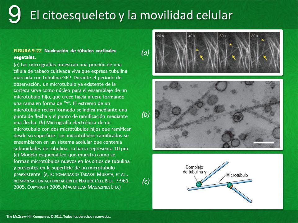 The McGraw-Hill Companies © 2011. Todos los derechos reservados. El citoesqueleto y la movilidad celular 9 9 FIGURA 9-22 Nucleación de túbulos cortica