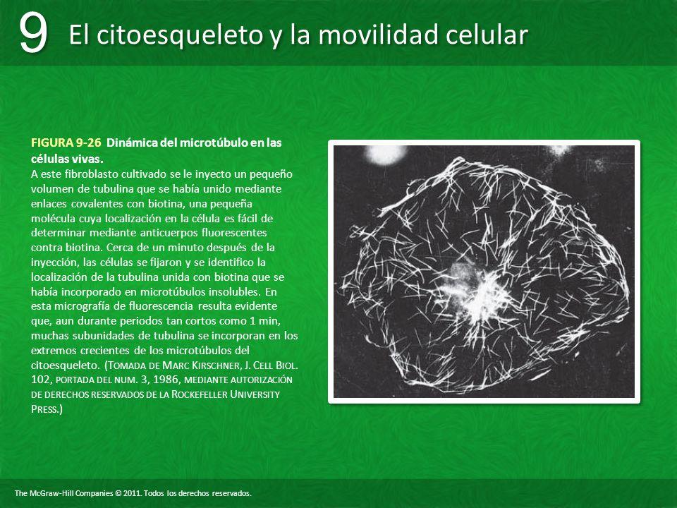 The McGraw-Hill Companies © 2011. Todos los derechos reservados. El citoesqueleto y la movilidad celular 9 9 FIGURA 9-26 Dinámica del microtúbulo en l