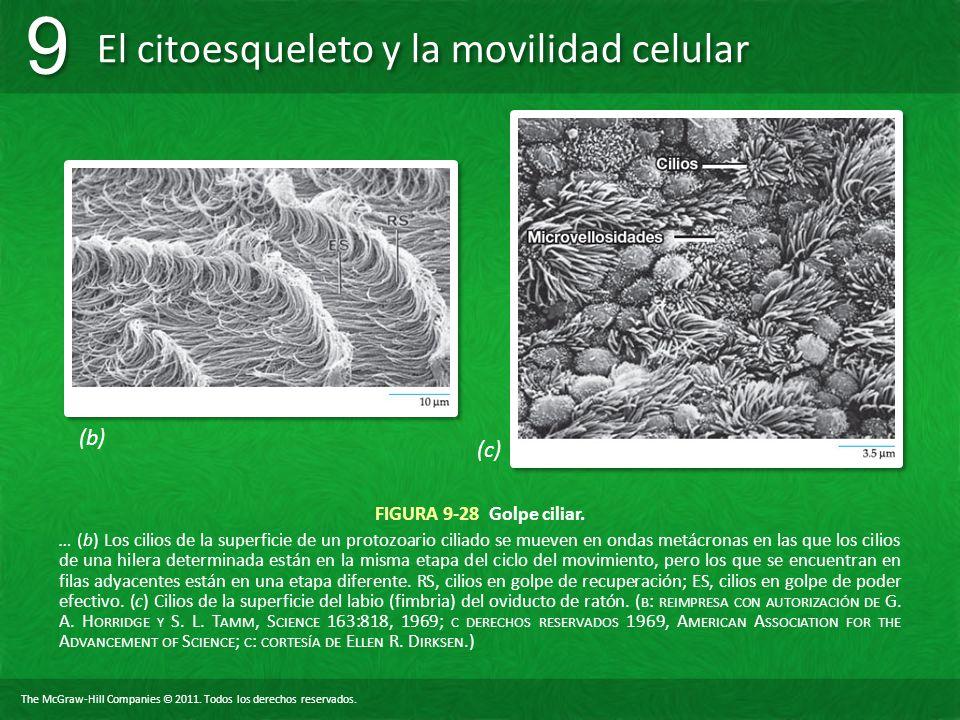 The McGraw-Hill Companies © 2011. Todos los derechos reservados. El citoesqueleto y la movilidad celular 9 9 FIGURA 9-28 Golpe ciliar. … (b) Los cilio