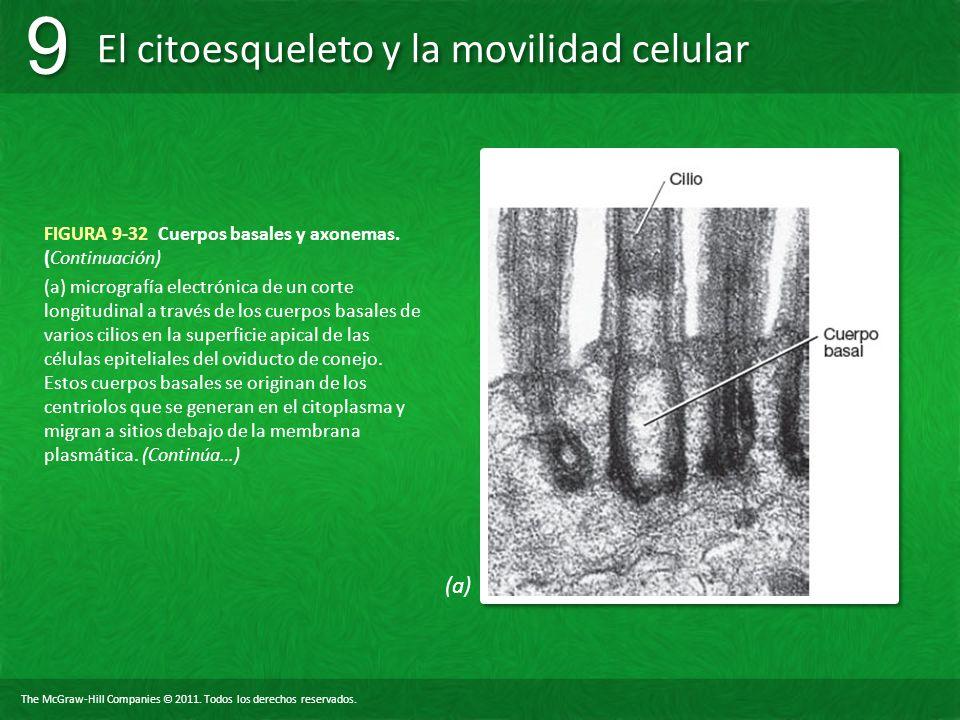 The McGraw-Hill Companies © 2011. Todos los derechos reservados. El citoesqueleto y la movilidad celular 9 9 FIGURA 9-32 Cuerpos basales y axonemas. (