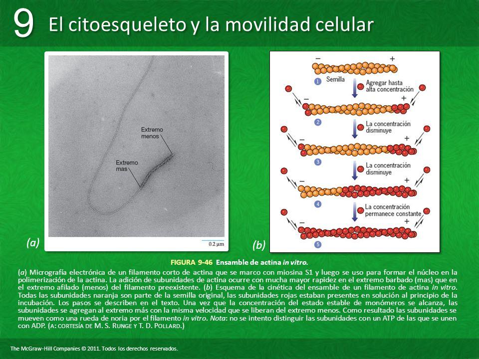 The McGraw-Hill Companies © 2011. Todos los derechos reservados. El citoesqueleto y la movilidad celular 9 9 FIGURA 9-46 Ensamble de actina in vitro.