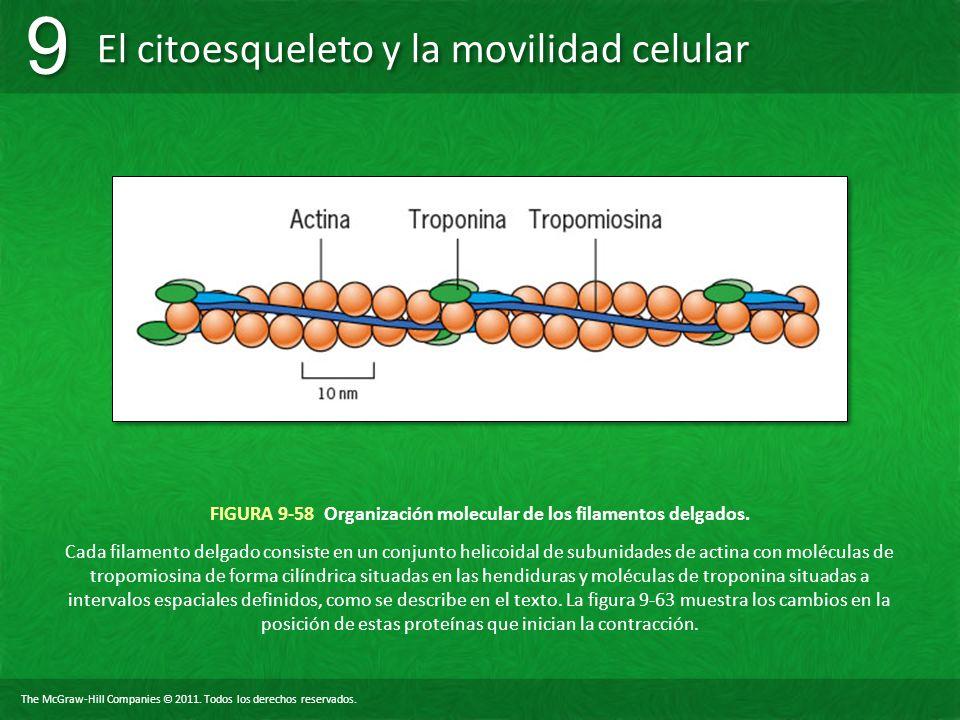 The McGraw-Hill Companies © 2011. Todos los derechos reservados. El citoesqueleto y la movilidad celular 9 9 FIGURA 9-58 Organización molecular de los