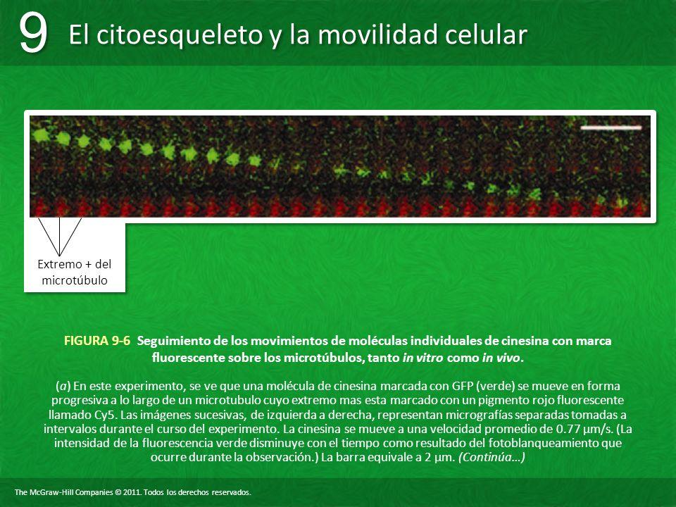 The McGraw-Hill Companies © 2011. Todos los derechos reservados. El citoesqueleto y la movilidad celular 9 9 FIGURA 9-6 Seguimiento de los movimientos