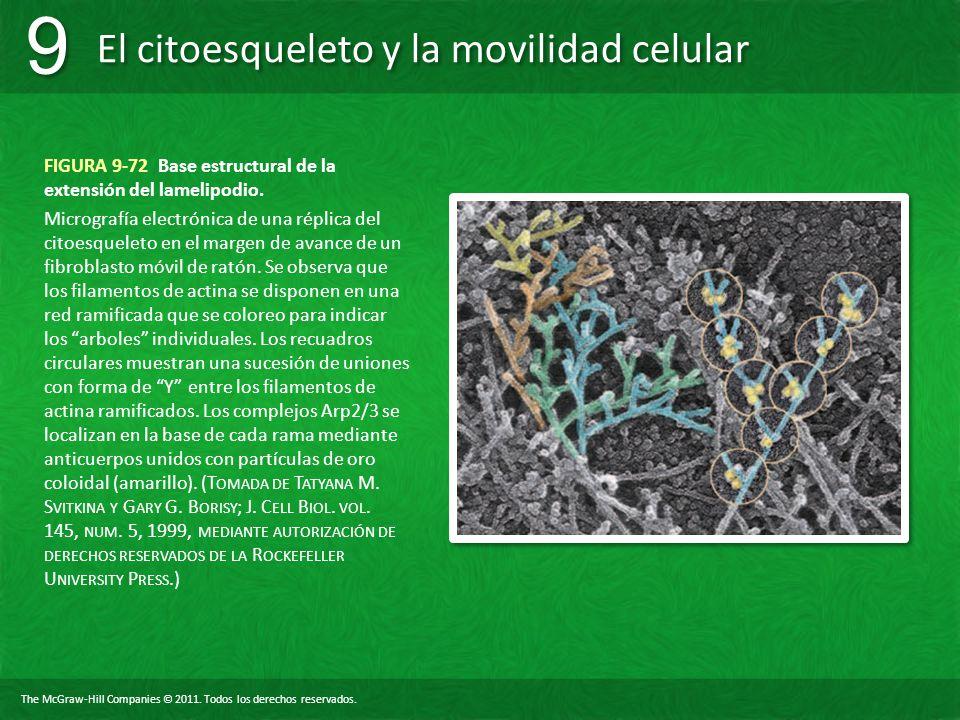 The McGraw-Hill Companies © 2011. Todos los derechos reservados. El citoesqueleto y la movilidad celular 9 9 FIGURA 9-72 Base estructural de la extens