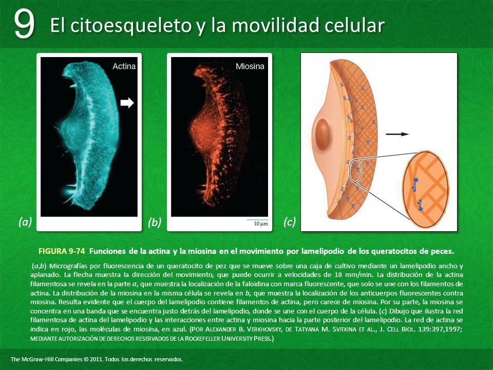 The McGraw-Hill Companies © 2011. Todos los derechos reservados. El citoesqueleto y la movilidad celular 9 9 FIGURA 9-74 Funciones de la actina y la m
