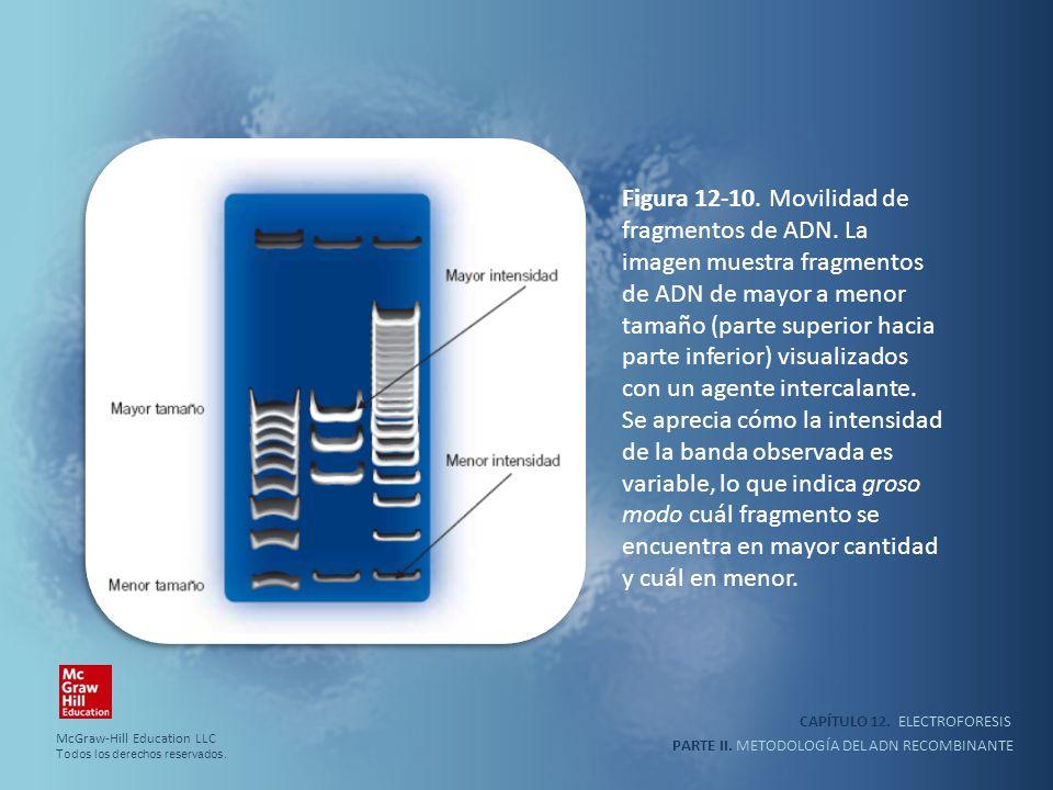 CAPÍTULO 12. ELECTROFORESIS PARTE II. METODOLOGÍA DEL ADN RECOMBINANTE Figura 12-10. Movilidad de fragmentos de ADN. La imagen muestra fragmentos de A