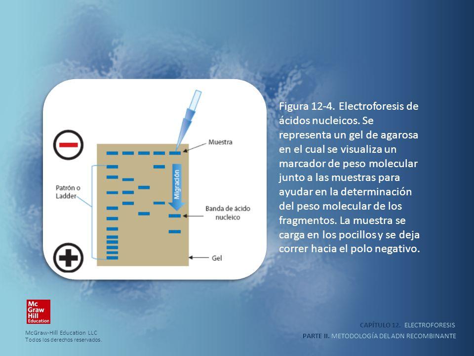 CAPÍTULO 12. ELECTROFORESIS PARTE II. METODOLOGÍA DEL ADN RECOMBINANTE Figura 12-4. Electroforesis de ácidos nucleicos. Se representa un gel de agaros