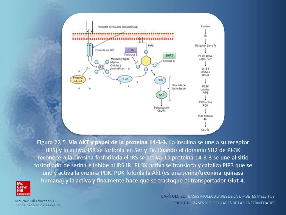 CAPÍTULO 22. BASES MOLECULARES DE LA DIABETES MELLITUS PARTE III. BASES MOLECULARES DE LAS ENFERMEDADES Figura 22-5. Vía AKT y papel de la proteína 14
