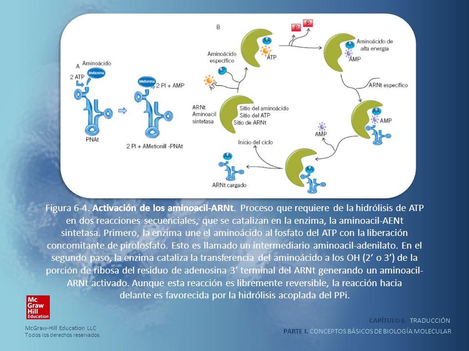 PARTE I. CONCEPTOS BÁSICOS DE BIOLOGÍA MOLECULAR CAPÍTULO 6. TRADUCCIÓN Figura 6-4. Activación de los aminoacil-ARNt. Proceso que requiere de la hidró