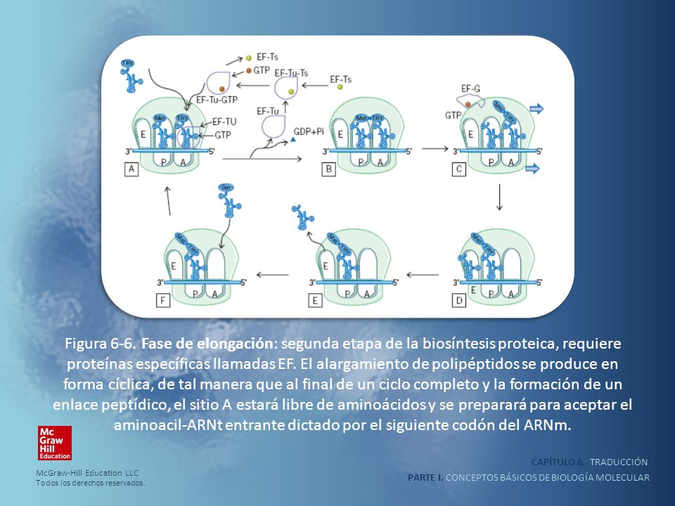 PARTE I. CONCEPTOS BÁSICOS DE BIOLOGÍA MOLECULAR CAPÍTULO 6. TRADUCCIÓN Figura 6-6. Fase de elongación: segunda etapa de la biosíntesis proteica, requ