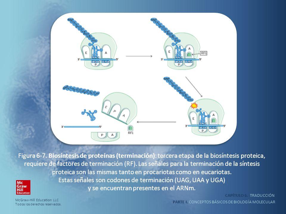 PARTE I. CONCEPTOS BÁSICOS DE BIOLOGÍA MOLECULAR CAPÍTULO 6. TRADUCCIÓN Figura 6-7. Biosíntesis de proteínas (terminación): tercera etapa de la biosín