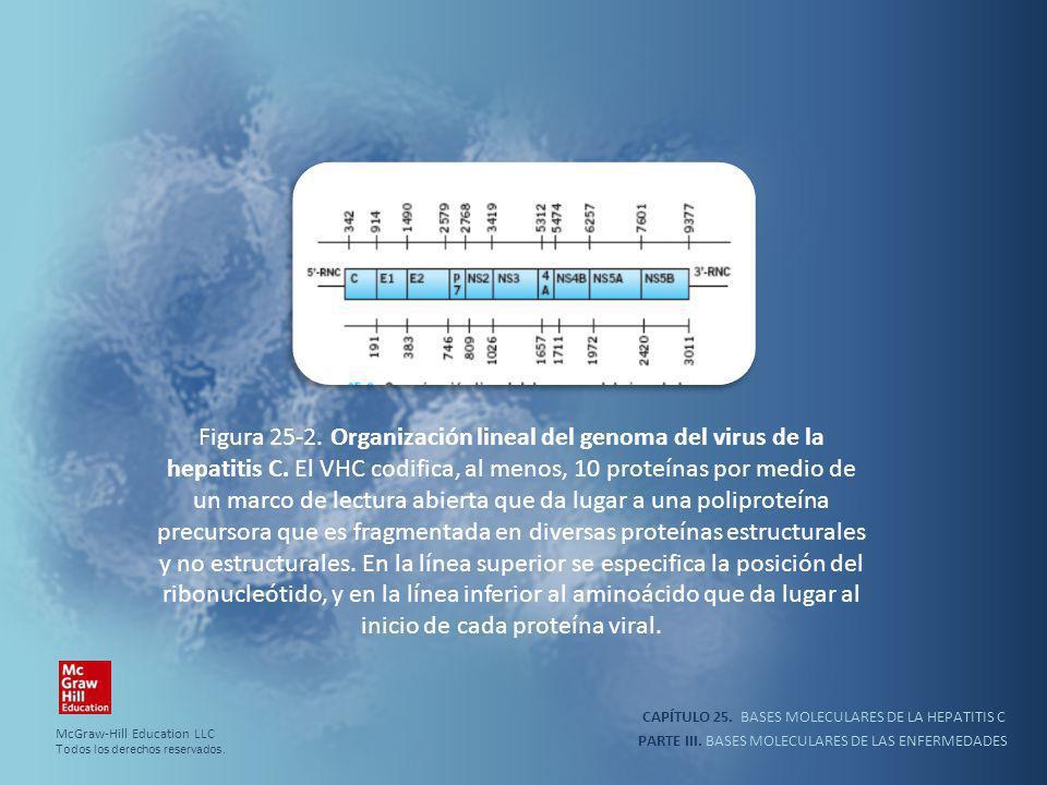 PARTE III. BASES MOLECULARES DE LAS ENFERMEDADES Figura 25-2. Organización lineal del genoma del virus de la hepatitis C. El VHC codifica, al menos, 1