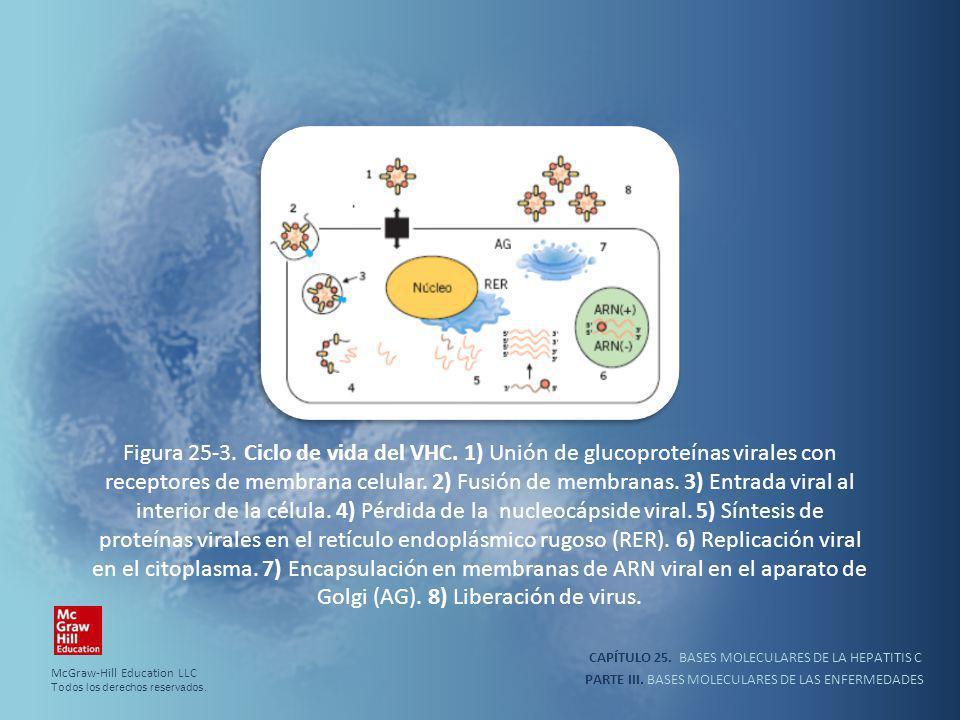 PARTE III. BASES MOLECULARES DE LAS ENFERMEDADES Figura 25-3. Ciclo de vida del VHC. 1) Unión de glucoproteínas virales con receptores de membrana cel