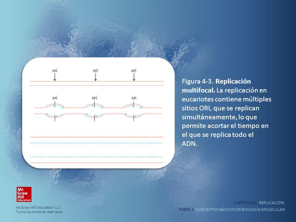 PARTE I. CONCEPTOS BÁSICOS DE BIOLOGÍA MOLECULAR CAPÍTULO 4. REPLICACIÓN Figura 4-3. Replicación multifocal. La replicación en eucariotes contiene múl