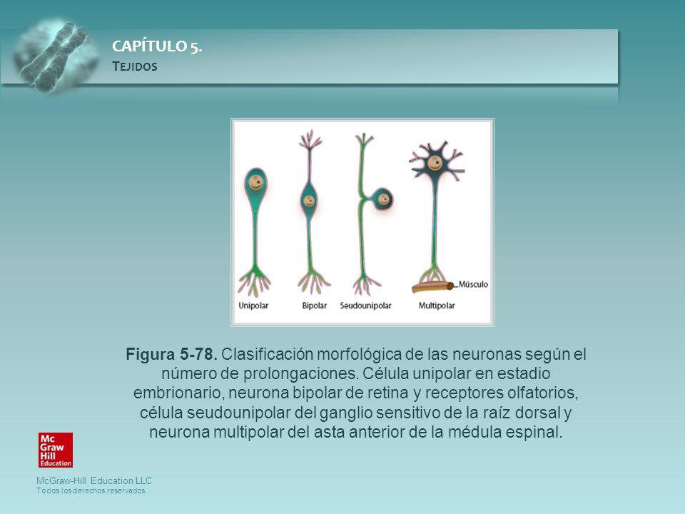McGraw-Hill Education LLC Todos los derechos reservados. CAPÍTULO 5. T EJIDOS Figura 5-78. Clasificación morfológica de las neuronas según el número d