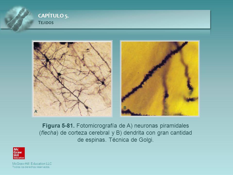 McGraw-Hill Education LLC Todos los derechos reservados. CAPÍTULO 5. T EJIDOS Figura 5-81. Fotomicrografía de A) neuronas piramidales (flecha) de cort