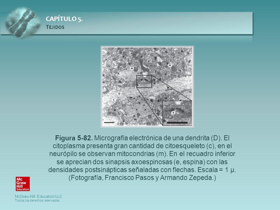 McGraw-Hill Education LLC Todos los derechos reservados. CAPÍTULO 5. T EJIDOS Figura 5-82. Micrografía electrónica de una dendrita (D). El citoplasma