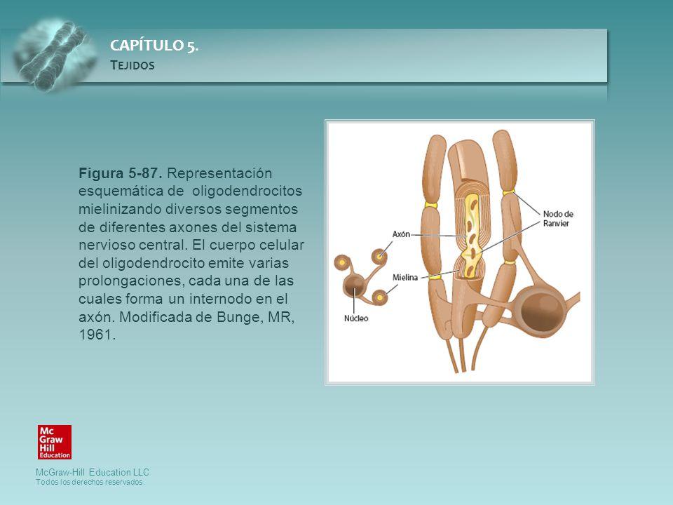 McGraw-Hill Education LLC Todos los derechos reservados. CAPÍTULO 5. T EJIDOS Figura 5-87. Representación esquemática de oligodendrocitos mielinizando