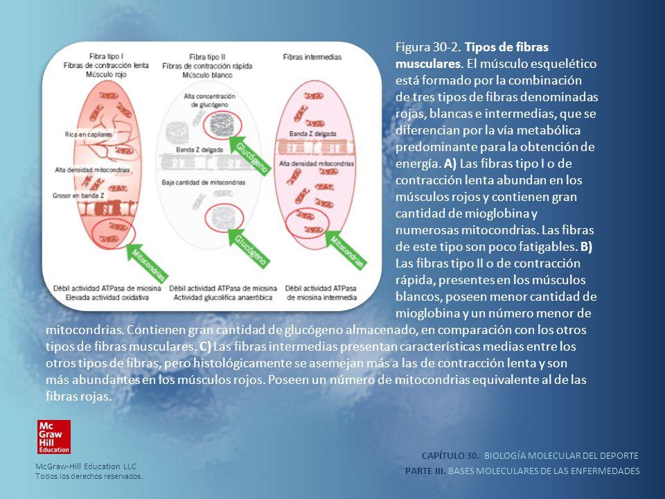 CAPÍTULO 30. BIOLOGÍA MOLECULAR DEL DEPORTE PARTE III. BASES MOLECULARES DE LAS ENFERMEDADES Figura 30-2. Tipos de fibras musculares. El músculo esque
