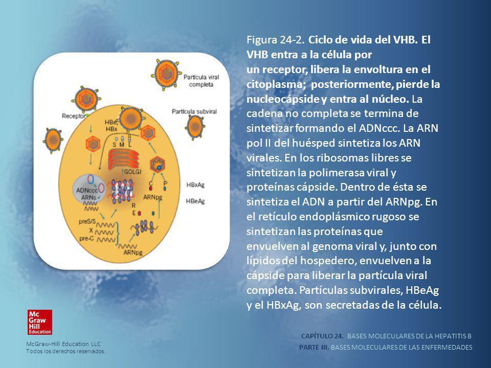 CAPÍTULO 24. BASES MOLECULARES DE LA HEPATITIS B PARTE III. BASES MOLECULARES DE LAS ENFERMEDADES Figura 24-2. Ciclo de vida del VHB. El VHB entra a l