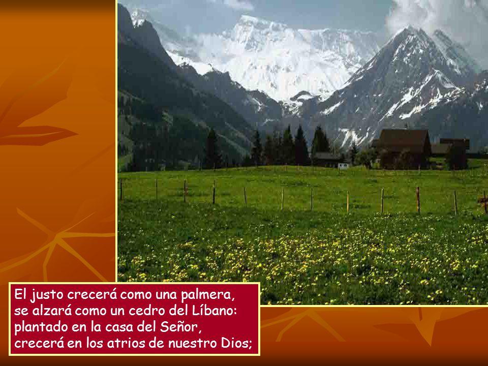 El justo crecerá como una palmera, se alzará como un cedro del Líbano: plantado en la casa del Señor, crecerá en los atrios de nuestro Dios;