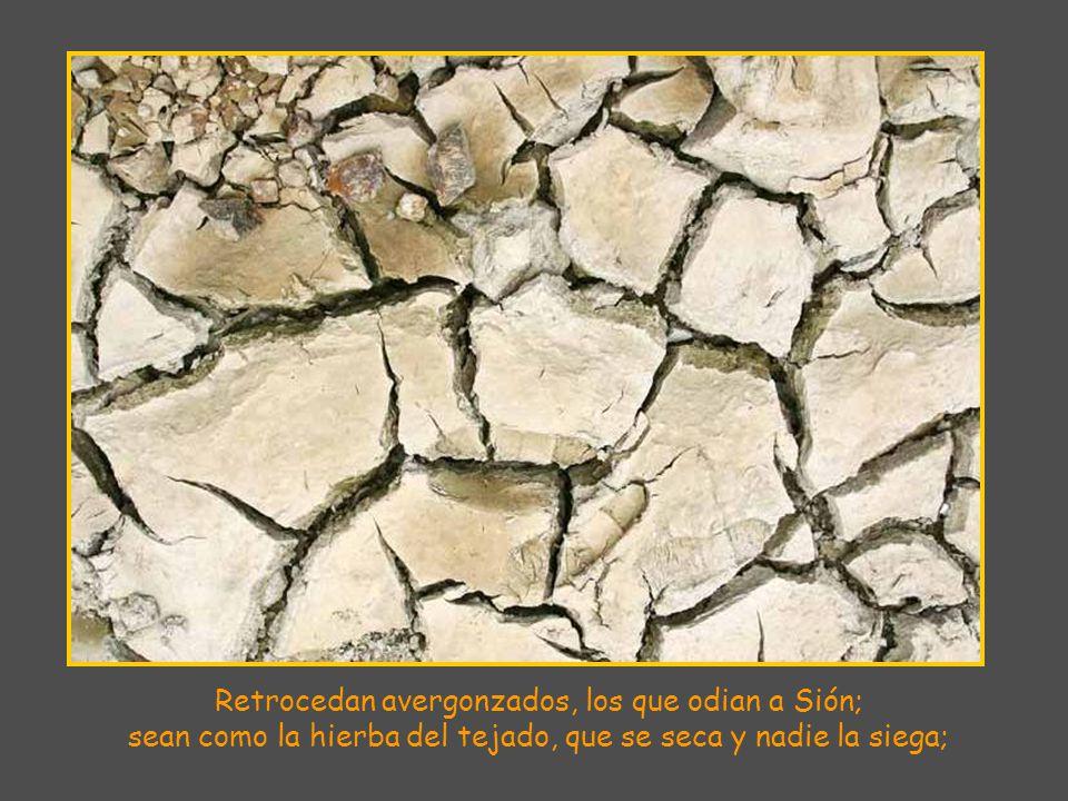 Retrocedan avergonzados, los que odian a Sión; sean como la hierba del tejado, que se seca y nadie la siega;