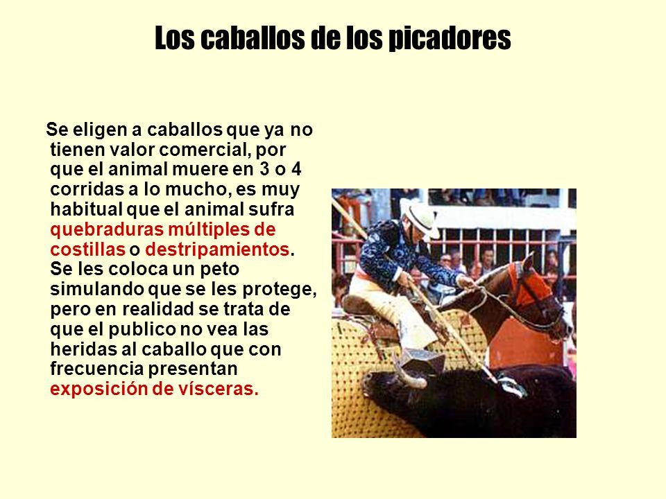 Los caballos de los picadores Se eligen a caballos que ya no tienen valor comercial, por que el animal muere en 3 o 4 corridas a lo mucho, es muy habi