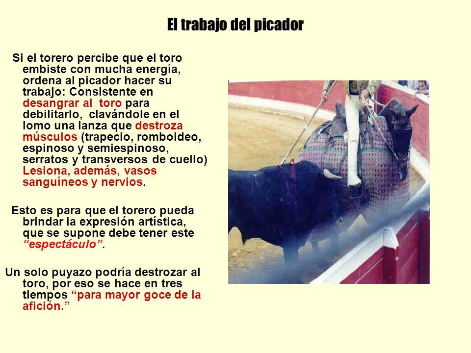 El trabajo del picador Si el torero percibe que el toro embiste con mucha energía, ordena al picador hacer su trabajo: Consistente en desangrar al tor