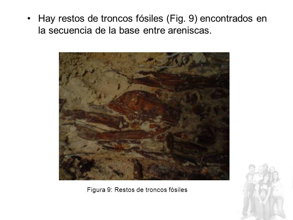 Hay restos de troncos fósiles (Fig.9) encontrados en la secuencia de la base entre areniscas.