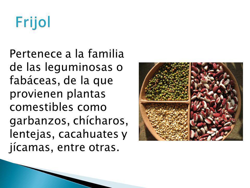 Pertenece a la familia de las leguminosas o fabáceas, de la que provienen plantas comestibles como garbanzos, chícharos, lentejas, cacahuates y jícama