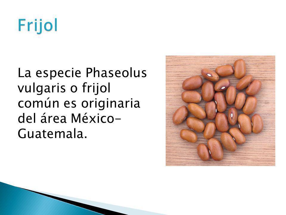 La especie Phaseolus vulgaris o frijol común es originaria del área México- Guatemala.