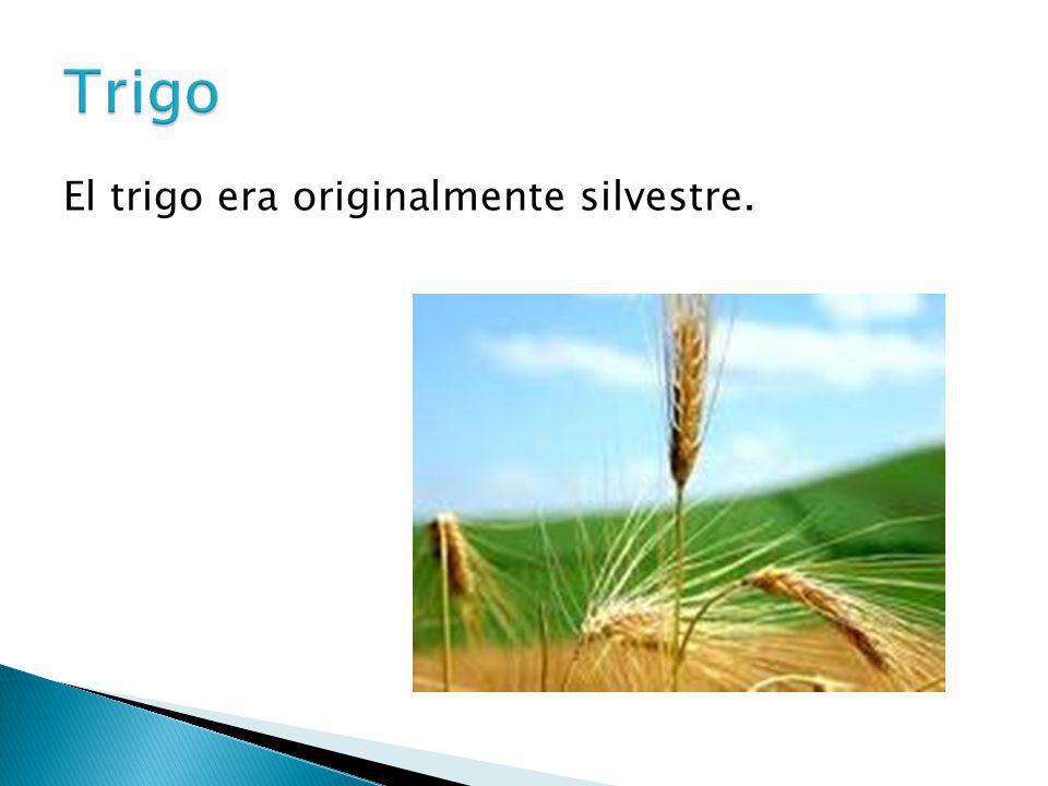 El trigo era originalmente silvestre.