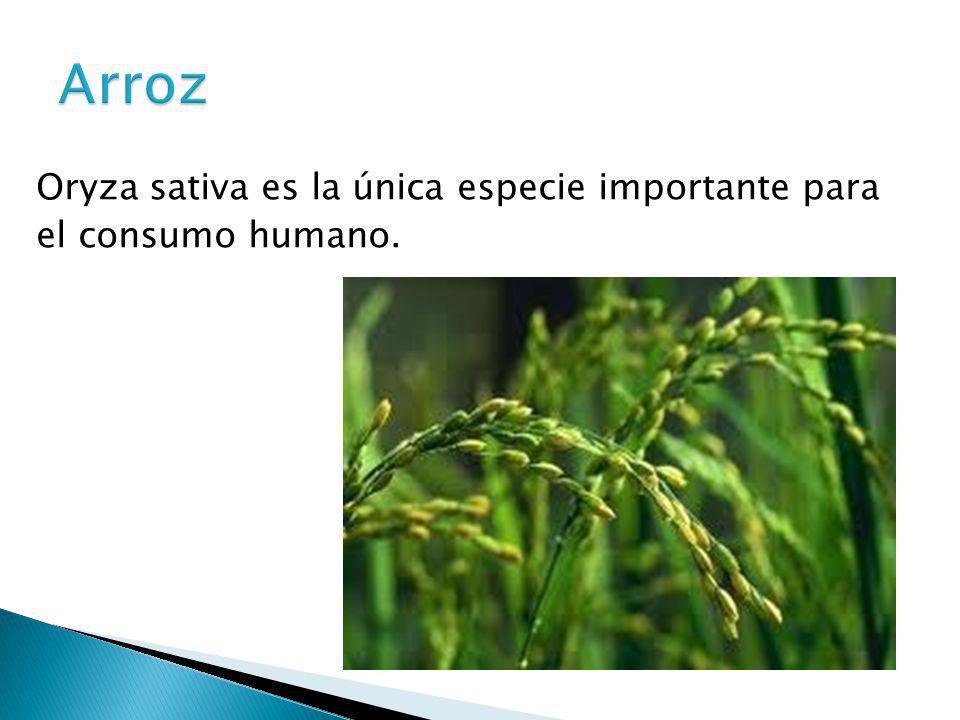 Oryza sativa es la única especie importante para el consumo humano.