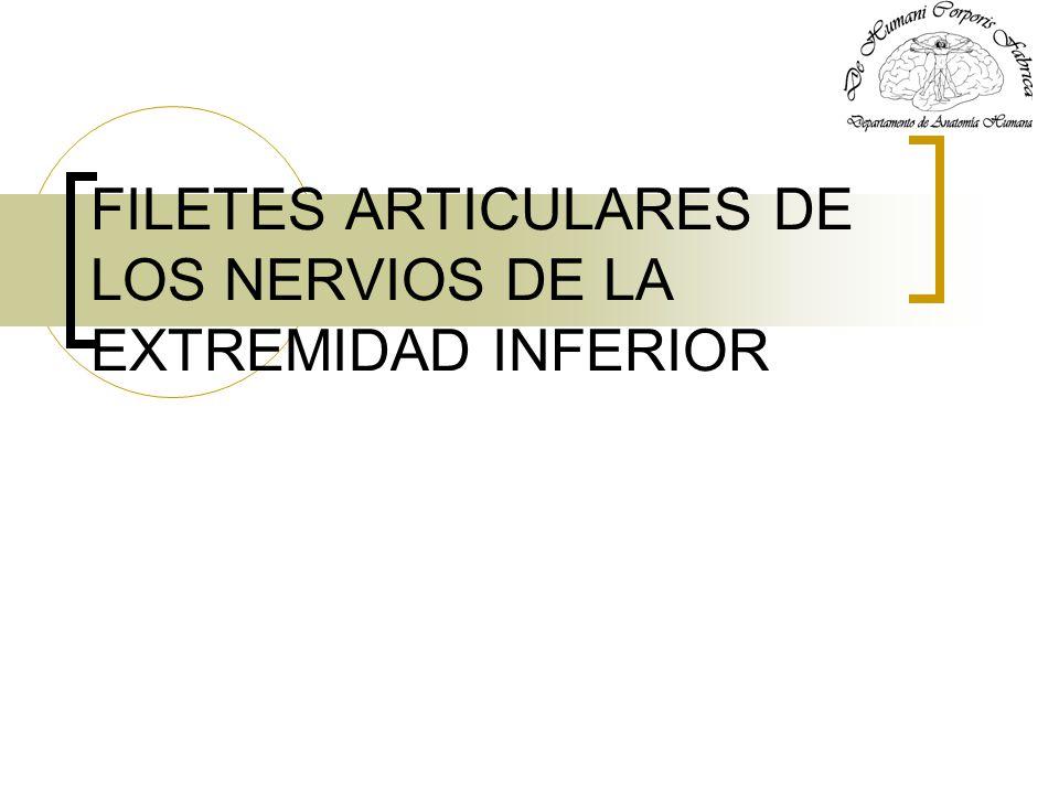 FILETES ARTICULARES DE LOS NERVIOS DE LA EXTREMIDAD INFERIOR