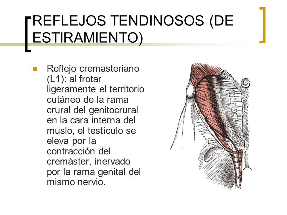 REFLEJOS TENDINOSOS (DE ESTIRAMIENTO) Reflejo cremasteriano (L1): al frotar ligeramente el territorio cutáneo de la rama crural del genitocrural en la