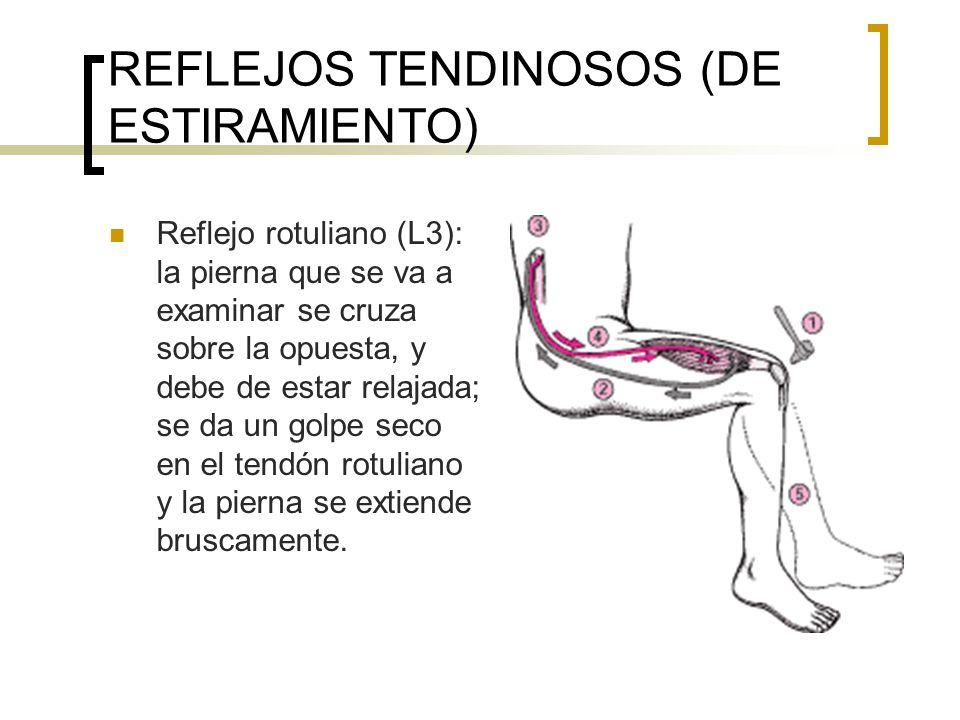 REFLEJOS TENDINOSOS (DE ESTIRAMIENTO) Reflejo rotuliano (L3): la pierna que se va a examinar se cruza sobre la opuesta, y debe de estar relajada; se d