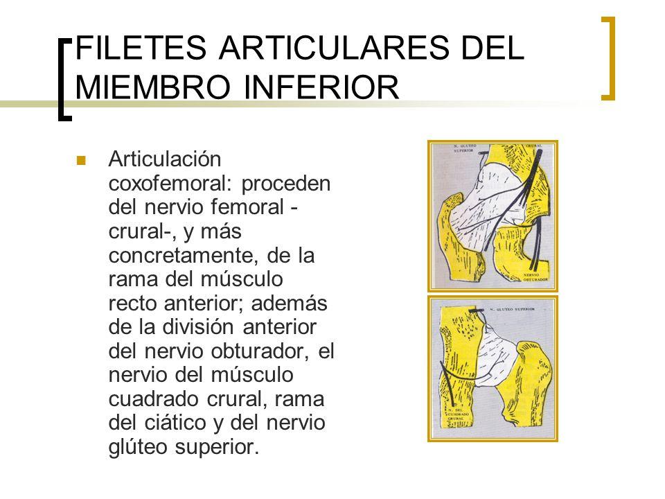 FILETES ARTICULARES DEL MIEMBRO INFERIOR Articulación de la rodilla: los nervios articulares proceden de ramas de los nervios obturador, femoral, tibial y peroneo común.
