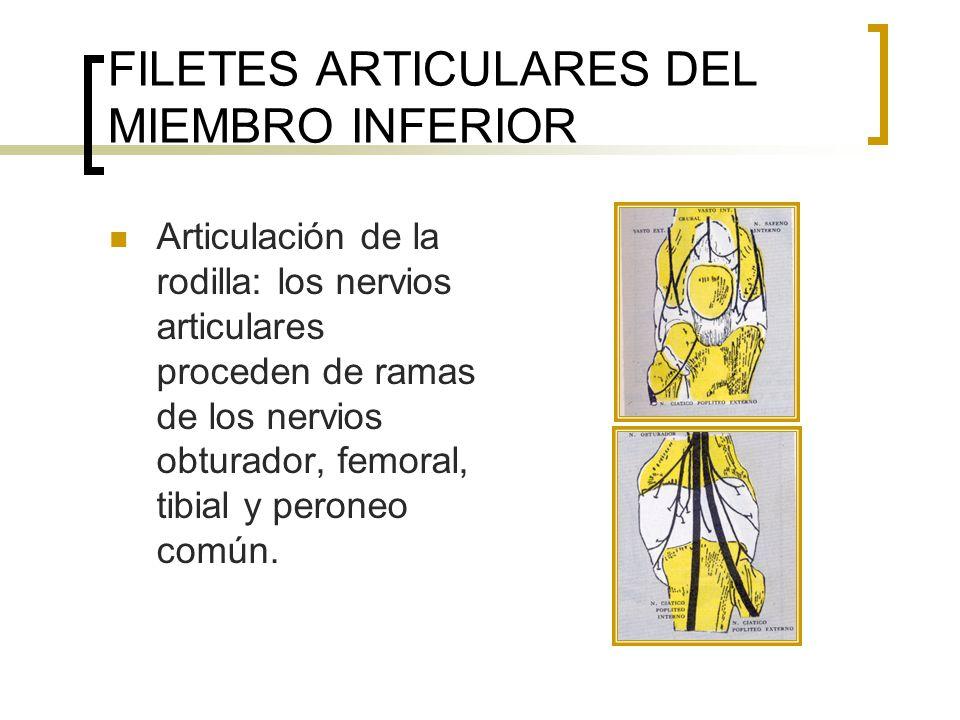 FILETES ARTICULARES DEL MIEMBRO INFERIOR Articulación de la rodilla: los nervios articulares proceden de ramas de los nervios obturador, femoral, tibi