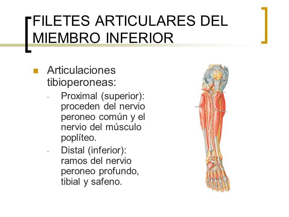 FILETES ARTICULARES DEL MIEMBRO INFERIOR Articulaciones tibioperoneas: - Proximal (superior): proceden del nervio peroneo común y el nervio del múscul