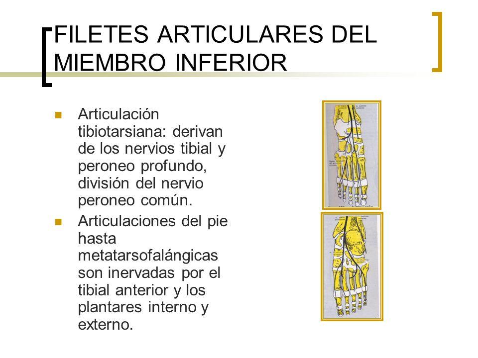 FILETES ARTICULARES DEL MIEMBRO INFERIOR Articulaciones interfalángicas: son inervadas por ramos colaterales de los nervios tibial anterior, musculocutáneo y los nervios plantares.