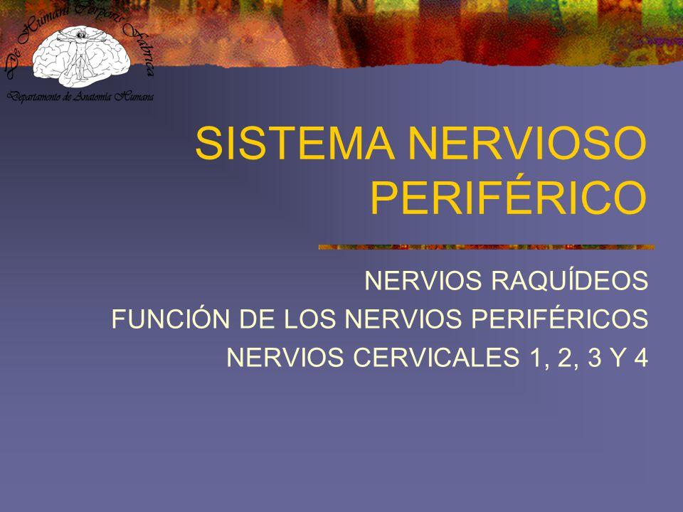 SISTEMA NERVIOSO PERIFÉRICO NERVIOS RAQUÍDEOS FUNCIÓN DE LOS NERVIOS PERIFÉRICOS NERVIOS CERVICALES 1, 2, 3 Y 4