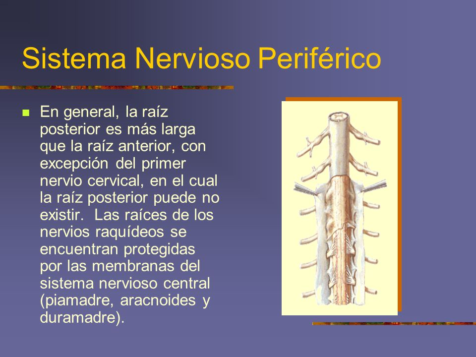 Sistema Nervioso Periférico En general, la raíz posterior es más larga que la raíz anterior, con excepción del primer nervio cervical, en el cual la r