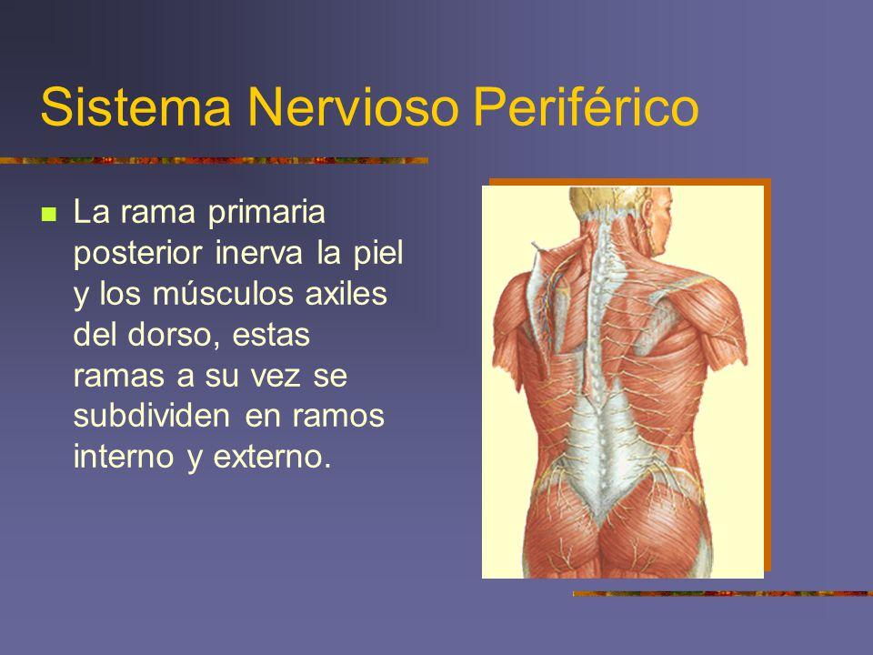 Sistema Nervioso Periférico La rama primaria posterior inerva la piel y los músculos axiles del dorso, estas ramas a su vez se subdividen en ramos int