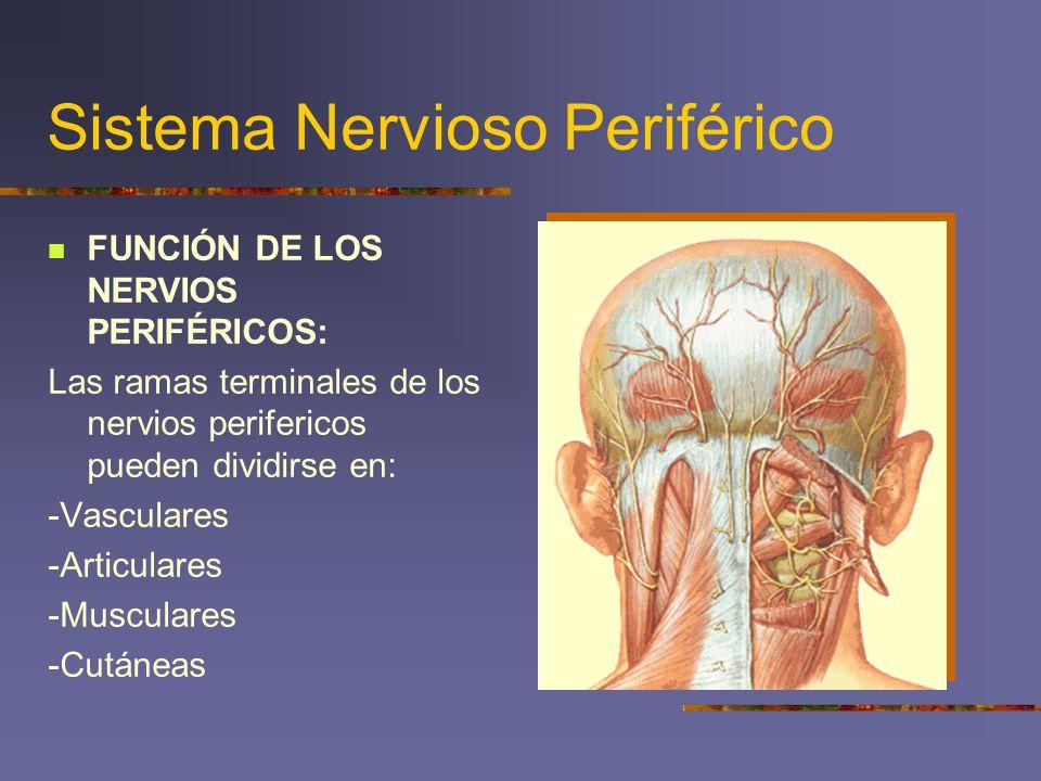 Sistema Nervioso Periférico FUNCIÓN DE LOS NERVIOS PERIFÉRICOS: Las ramas terminales de los nervios perifericos pueden dividirse en: -Vasculares -Arti