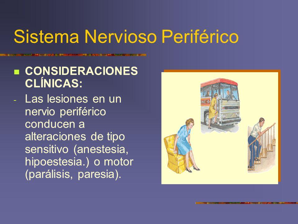 Sistema Nervioso Periférico CONSIDERACIONES CLÍNICAS: - Las lesiones en un nervio periférico conducen a alteraciones de tipo sensitivo (anestesia, hip
