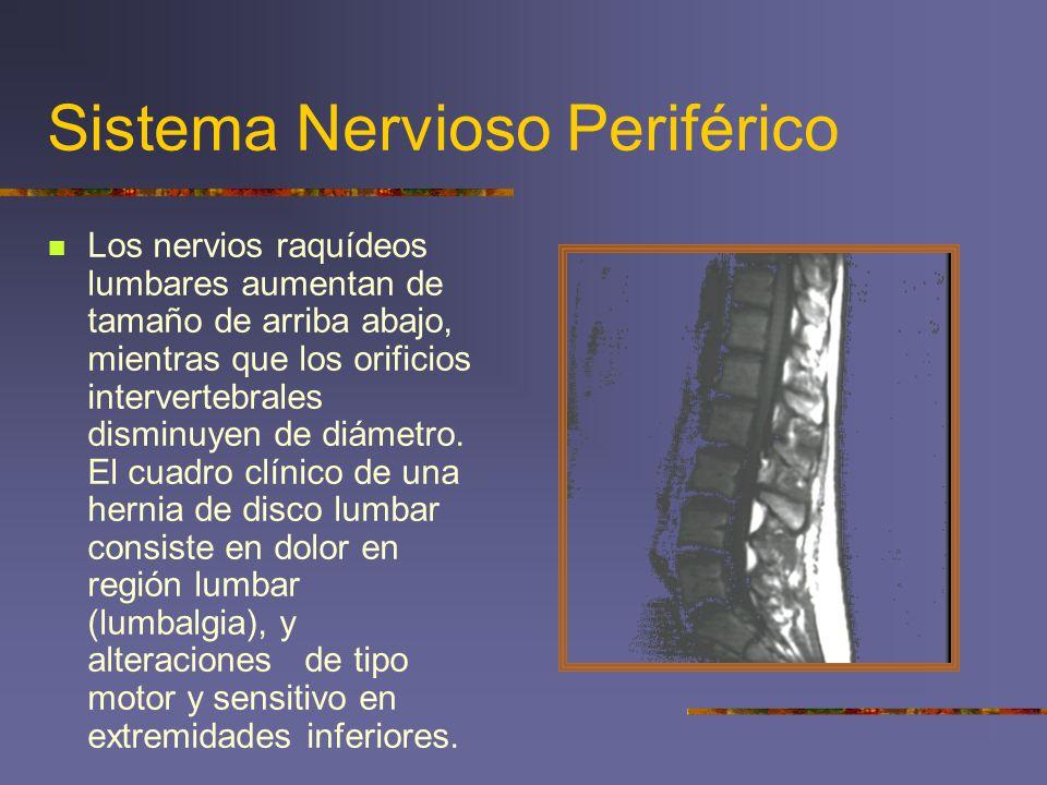 Sistema Nervioso Periférico Los nervios raquídeos lumbares aumentan de tamaño de arriba abajo, mientras que los orificios intervertebrales disminuyen