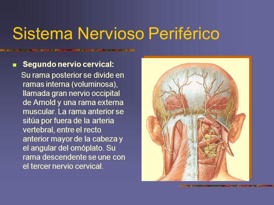 Sistema Nervioso Periférico Segundo nervio cervical: Su rama posterior se divide en ramas interna (voluminosa), llamada gran nervio occipital de Arnol