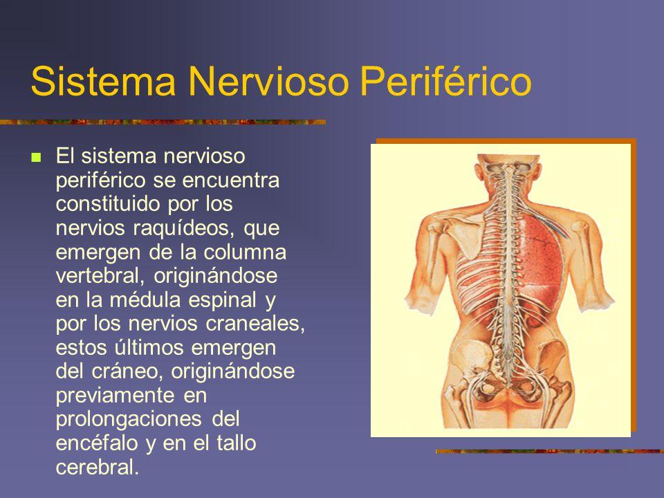 Sistema Nervioso Periférico El sistema nervioso periférico se encuentra constituido por los nervios raquídeos, que emergen de la columna vertebral, or